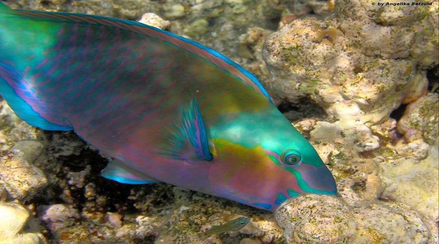Fische makadi bay for Welche fische passen zu goldfischen im gartenteich